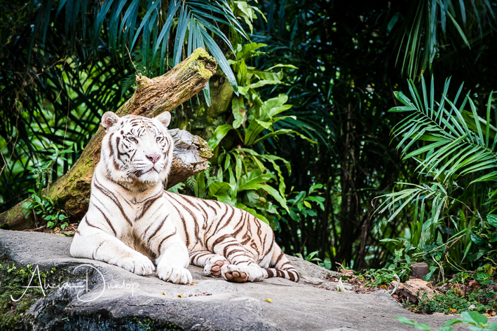 Singapore Places to see - White Tiger Singapore Zoo