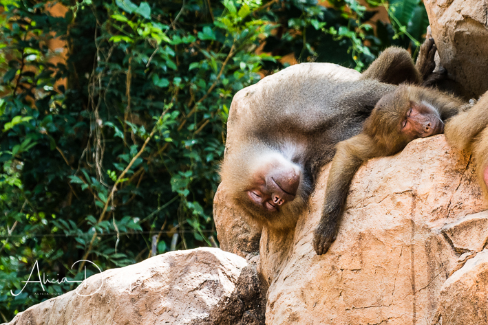 Sleeping Baboons - Singapore Zoo