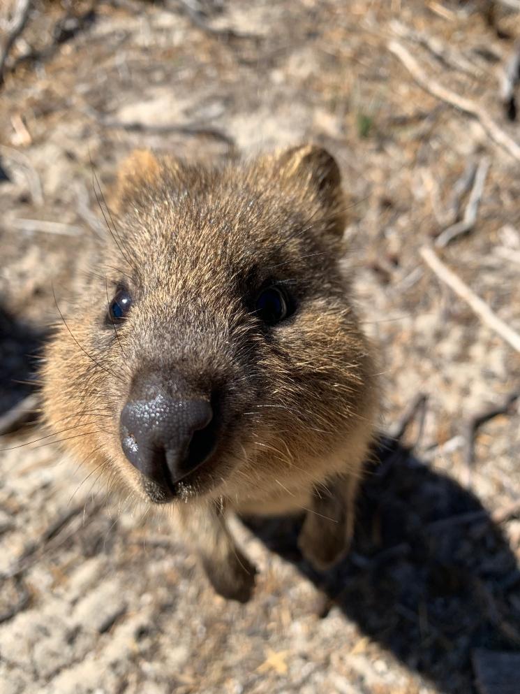 Inquisitive Quokka - Rottnest Island Western Australia